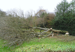Felled-Ash-Tree
